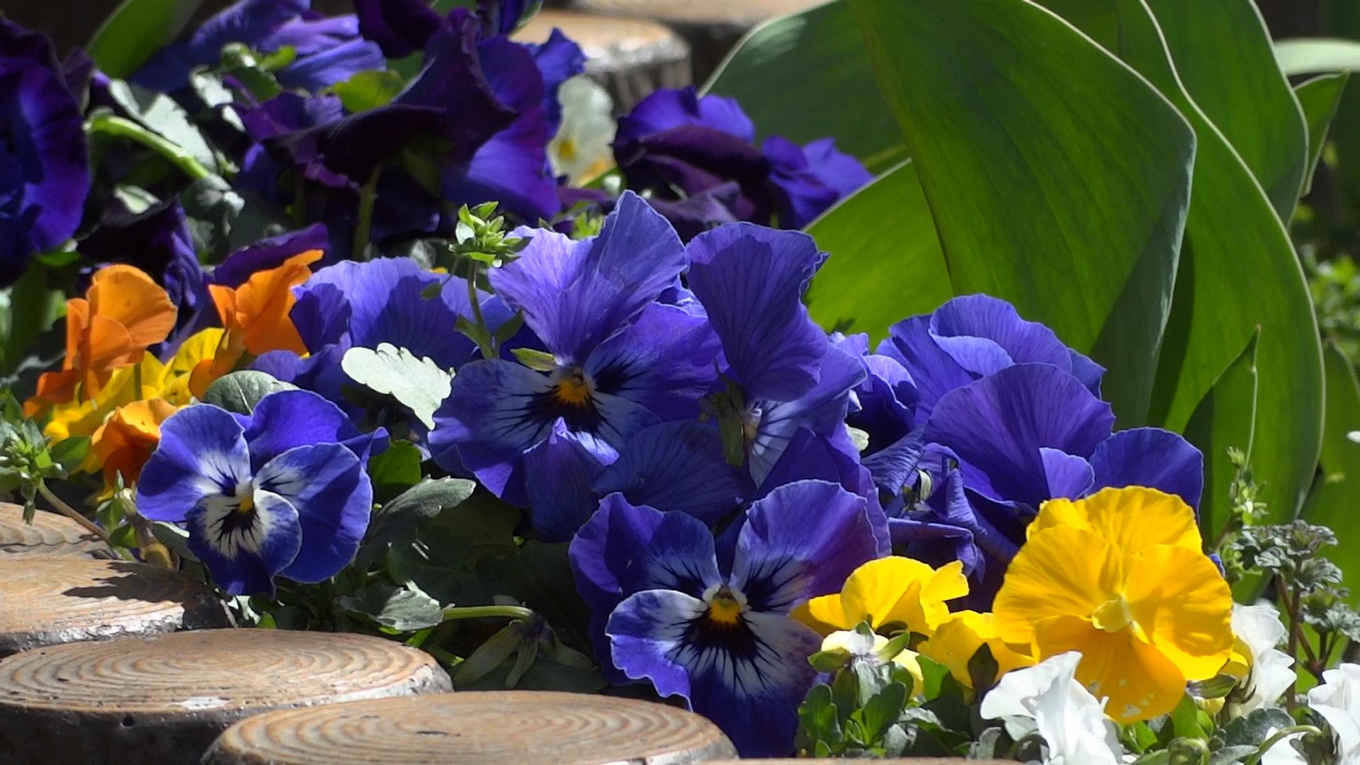 青紫は青く転ぶ傾向