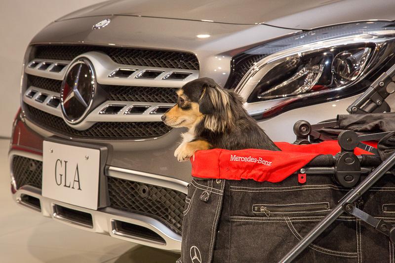 アクセサリーの紹介にはモデル犬も登場。ペットシートカバー、ペットキャリーなどを装備したGLA 180にモデル犬を座らせ、両手で持ったペットカートをフットトランクオープンナーを利用してラゲッジスペースに入れるパフォーマンスを実演