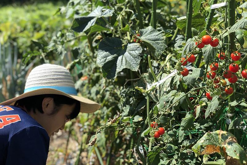 大豊作のプチトマトを真剣な表情で収穫する姪っ子。普段は父1人じゃ採り切れないので、助っ人登場で大助かりの様子です