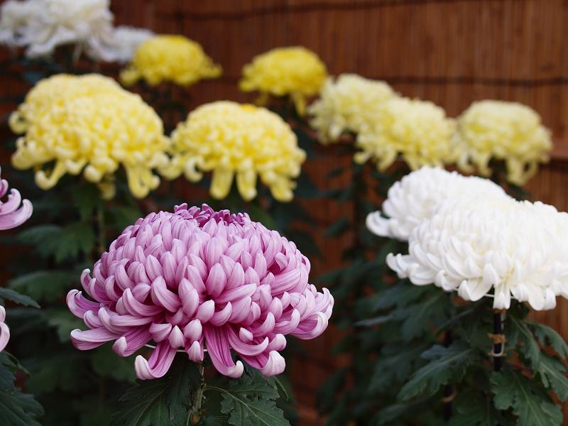 境内では約5千鉢の菊の花が楽しめます