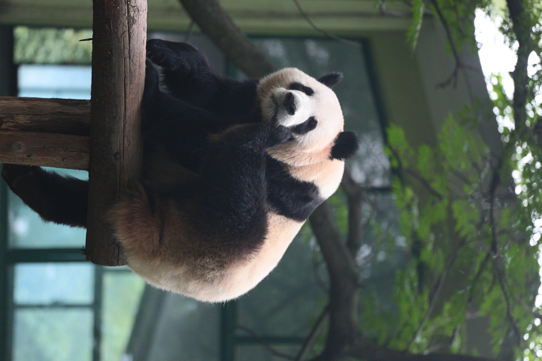 屋外の撮影。パンダは別格なのか柵だけでなく高いガラスで囲われていた。ガラス越しの撮影となりコントラストが低い