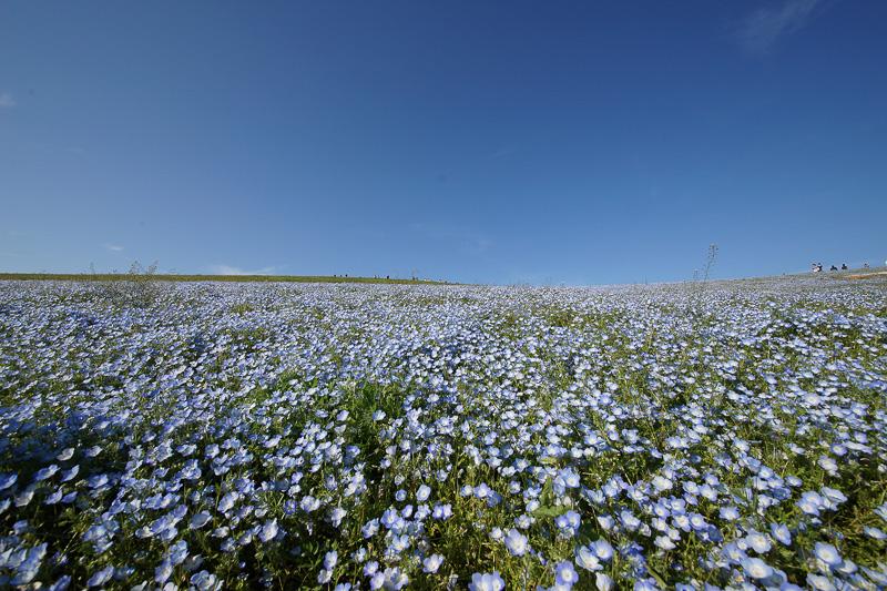 毎年ゴールデンウィーク頃に一面ネモフィラが咲く丘で有名。この丘は秋には一面コキアになる