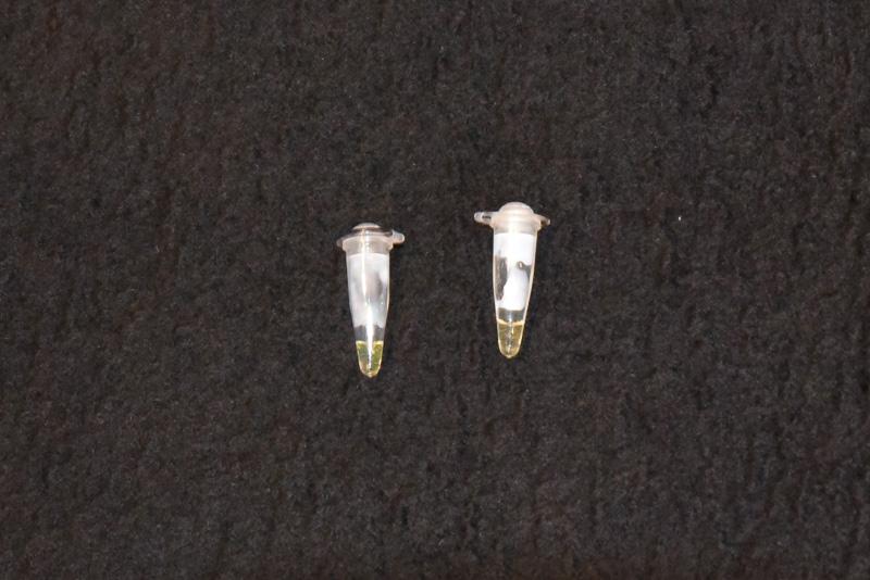 天然ゴム資源「パラゴムノキ」の簡易病害診断技術によって判定された試料。左が反応した試料で、右が反応しなかった試料。反応が進めば、さらに分かりやすくなるという