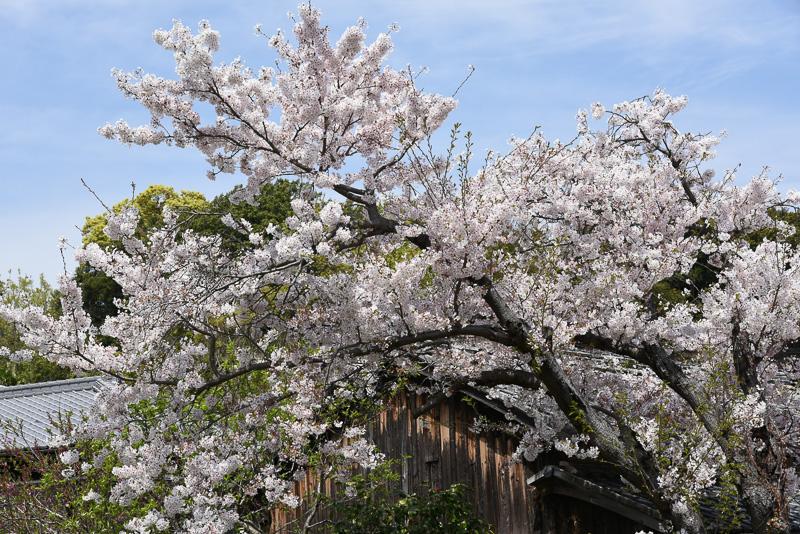直島町役場付近で見かけた桜。直島にはアート作品として「桜の迷宮」(安藤忠雄氏作)も展開されている