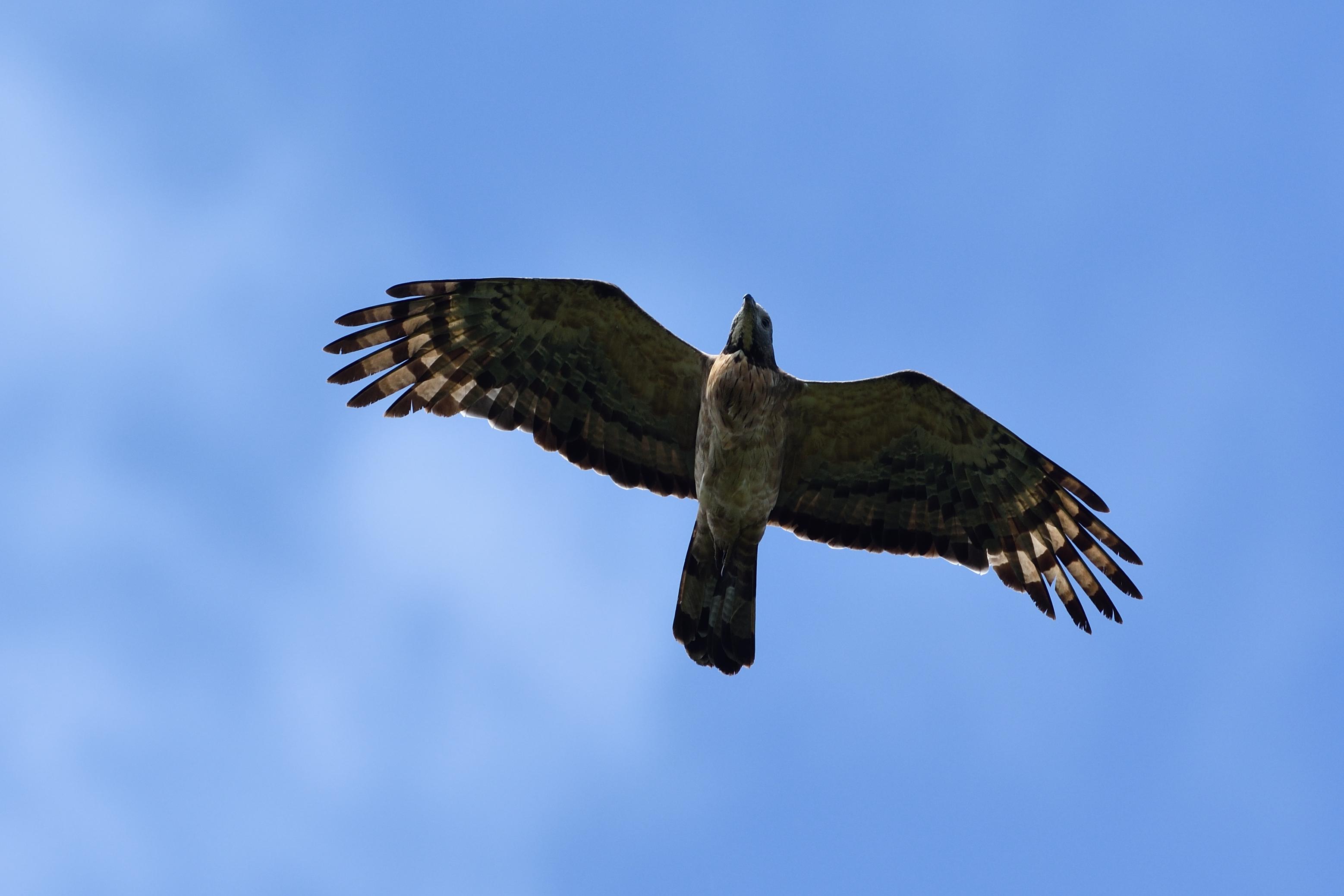 """<strong class=""""em """">ハチクマ オス成鳥</strong><br>色彩は中間型より少し淡いぐらいか。オスは虹彩が暗色。黒目がちでメスに比べるとカワイく感じる。被写体までの距離・高度は約50mと近い。羽毛の質感が写し撮れた。"""