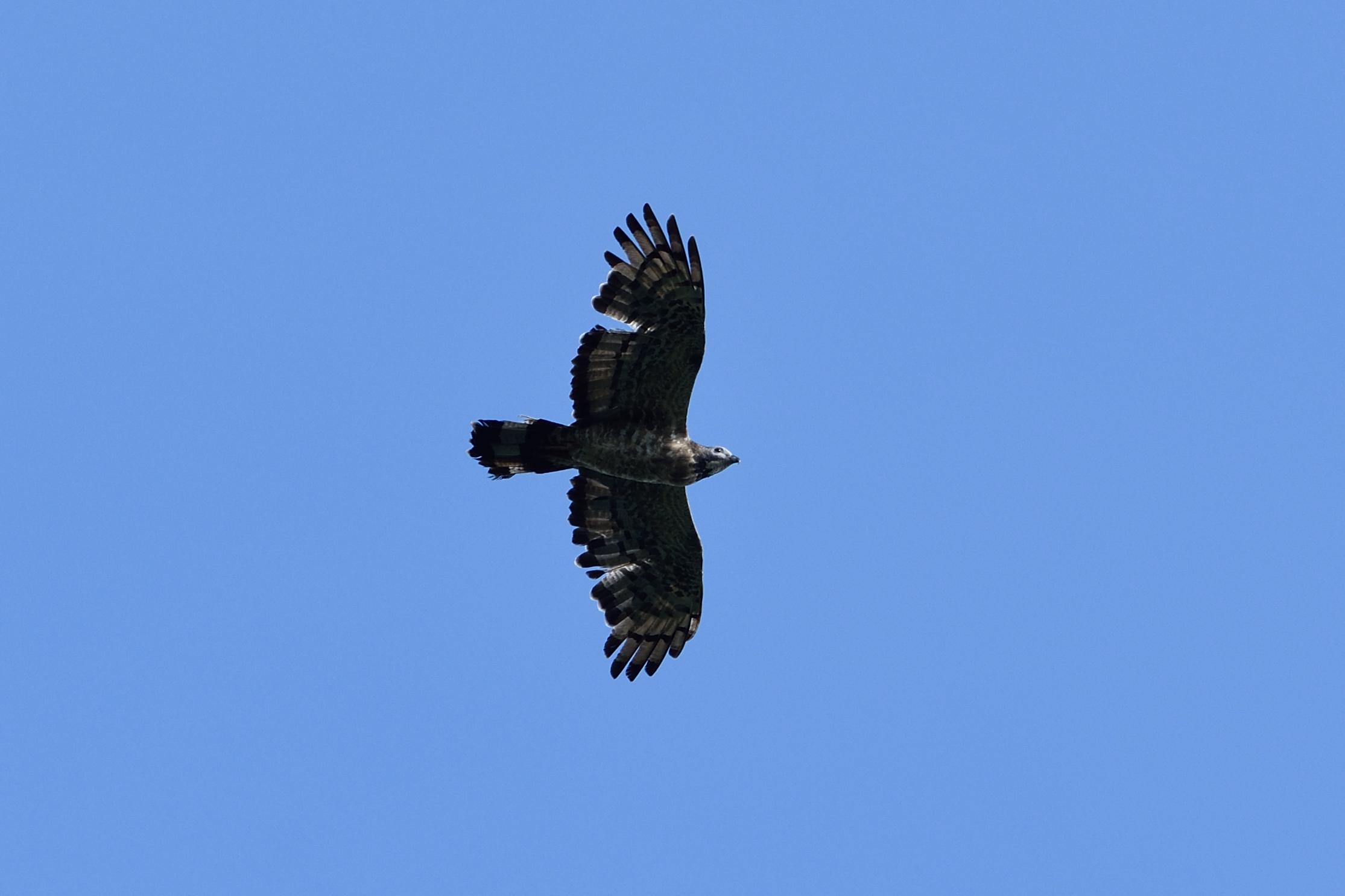 """<strong class=""""em """">ハチクマ オス成鳥</strong><br>成鳥は渡りの時期に羽が生え変わる。一見ボロボロだが「あれで帰れるのか? ガンバレ!」と歓声が沸く。"""