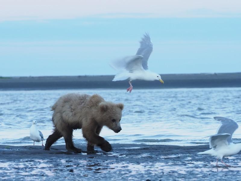 """鮭の死骸を食べ終え、ねぐらへと帰る子グマ。暗く写りがちな熊の表情を写すには、少しオーバーをかけたい。しかしシャッタスピードは落とせない。そんなシーンでは、手ぶれ補正の力を計算に入れて設定すれば表現域が広がる。<br><span class=""""fnt-85"""">OLYMPUS OM-D E-M1 Mark II / 150mm(300mm相当) / 絞り優先AE(F5.6、1/250秒、±0EV) / ISO 2000</span>"""