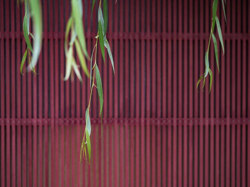 """金沢三茶屋街には町家が並び、鮮やかな赤の格子が目に飛び込んでくる。町家の前にある柳の木から、数本の緑が豊かな枝葉が垂れていた(撮影:高橋智裕)。<br><span class=""""fnt-85"""">OLYMPUS OM-D E-M1 Mark II / M.ZUIKO DIGITAL ED 60mm F2.8 Macro / 60mm(120mm相当) / 絞り優先AE(F2.8、1/80秒、-0.7EV) / ISO 200 / WB:オート</span>"""