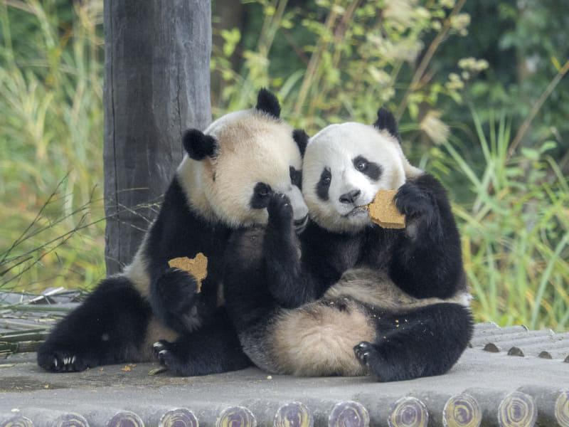 叶 悠眞「熊猫(PANDA)」