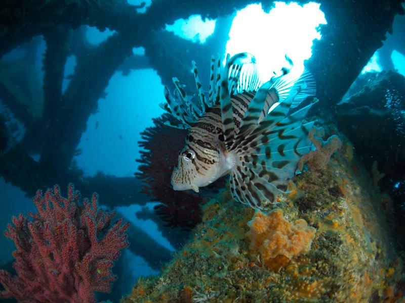 """防水プロテクター PT-EP14を使って海中で捉えたミノカサゴ。広い画角を誇る「M.ZUIKO DIGITAL ED 8mm F1.8 Fisheye PRO」なら、魚の海中環境も余裕で写し込むことができる。<br><span class=""""fnt-85"""">OM-D E-M1 Mark II / M.ZUIKO DIGITAL ED 8mm F1.8 Fisheye PRO / 8mm(16mm相当) / マニュアル露出(F2.5、1/250秒) / ISO LOW(64相当) / WB:オート</span>"""