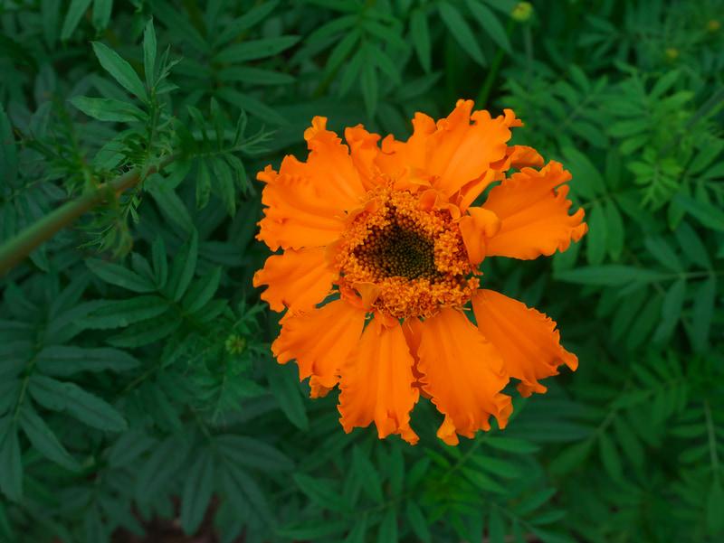 芸がないけど真俯瞰で花の撮影。梅雨時の光のニュアンスの助けを借りずともちゃんと写りますね。花全体をシャープに描写するため絞っています。<br>LUMIX DMC-GM1 LEICA DG SUMMILUX 15mm F1.7 ASPH.(F5.6・1/500秒)ISO 400
