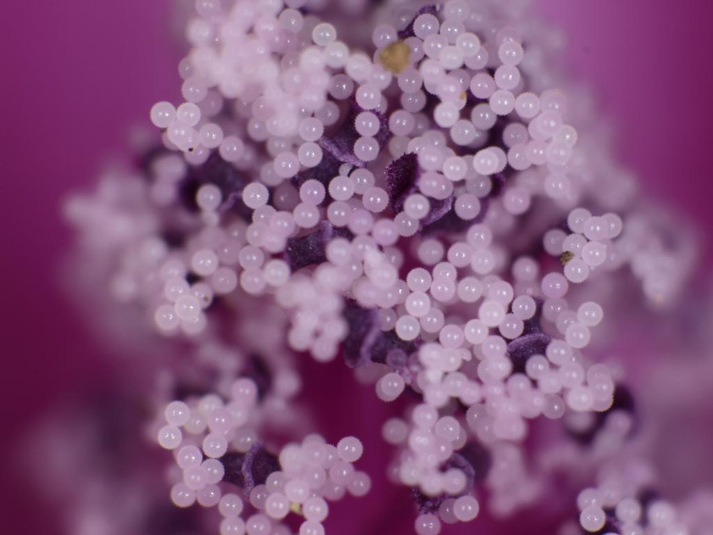 <b>「ゼニアオイ」の花粉。パールのように輝いているが、よく見ると小さなトゲに覆われている</b>
