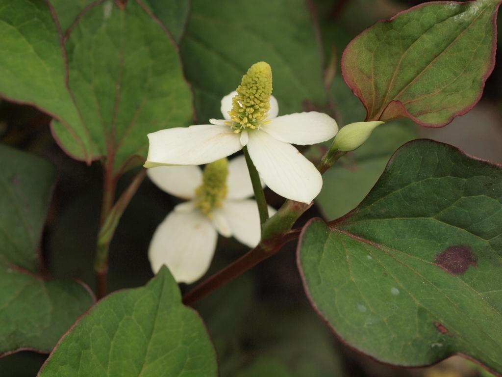 <b>「ドクダミ」の小花。開花したばかりでオシベもメシベも未熟だが、何だか海の生き物のように見える</b>