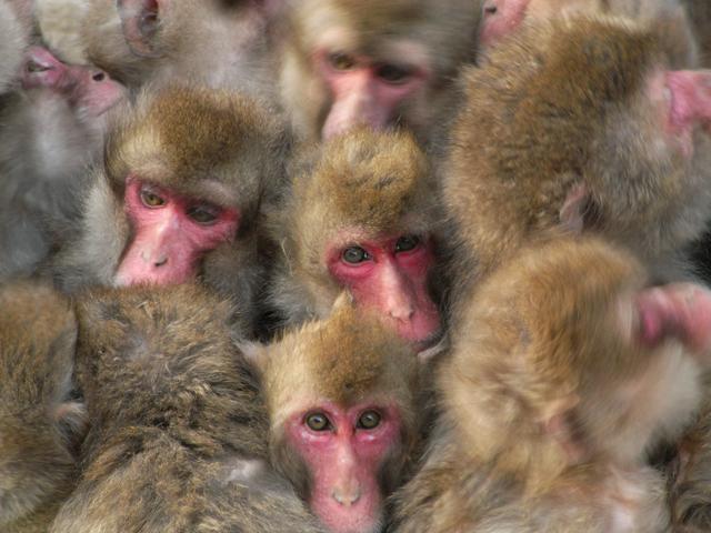 <b>Caplio R6で撮影したニホンザル。動物写真にスナップの感覚が面白い。(c)前川貴行</b>