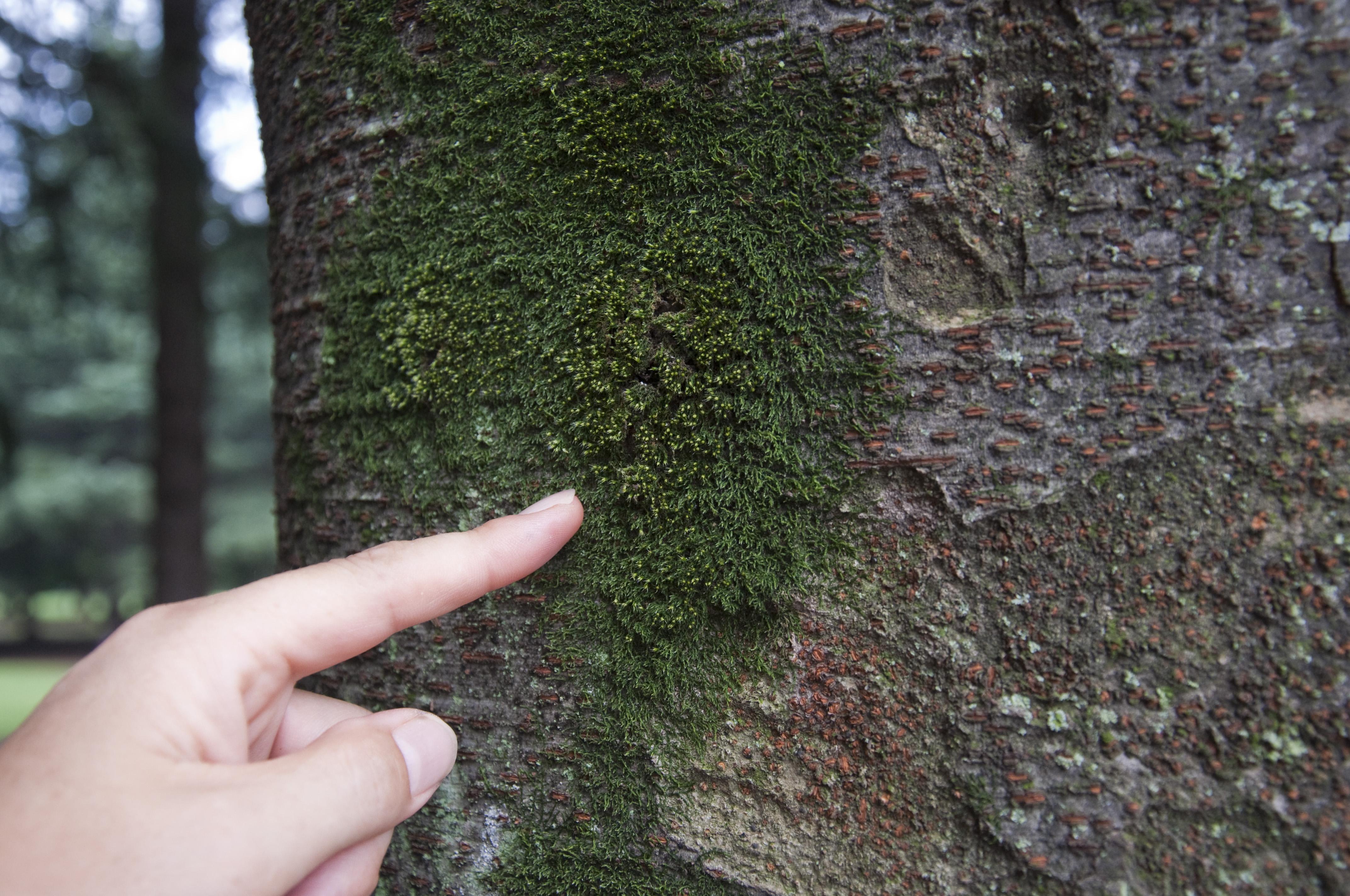 <b>木の幹についたコケ(左)を斜めから中間リング1つで撮影(右)</b>