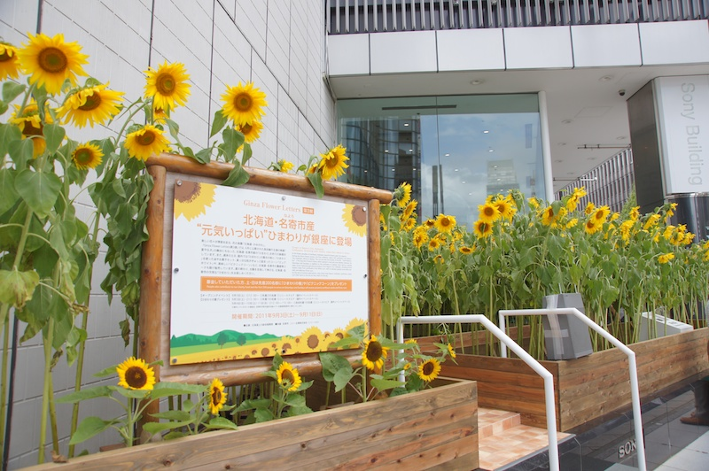 <b>北海道名寄市のひまわりが銀座ソニービルに出現。9月11日まで</b>