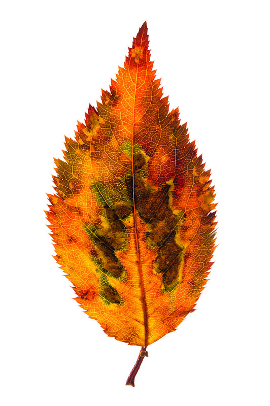 <b>落ち葉を透過光で撮影。ニコンD700 / AF-S Micro NIKKOR 60mm F2.8 G ED / マニュアル露出 / 1/250秒 / F11</b>