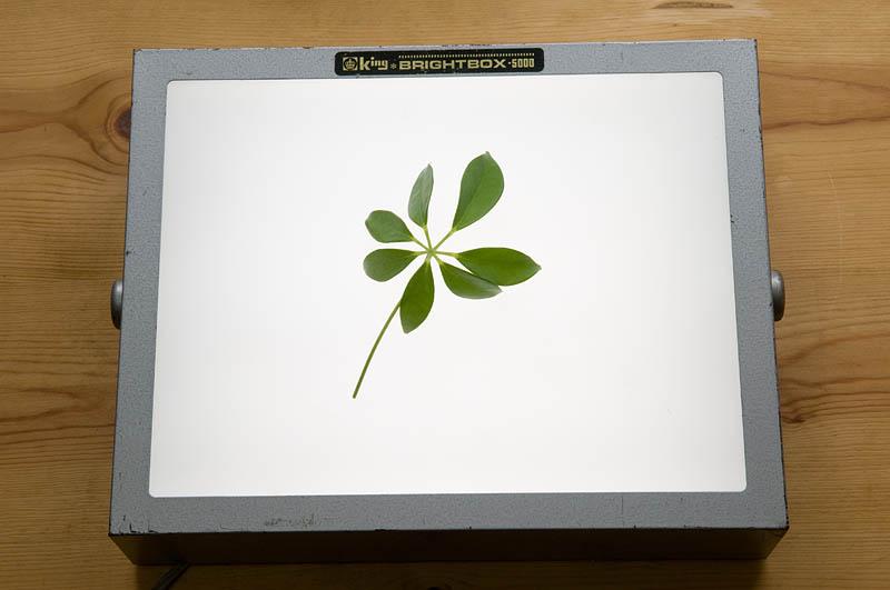 <b>落ち葉の写真はガラス板の下に照明を置いて撮影しているが、ライトボックスを使うのが簡単。その他家庭にある照明具や懐中電灯などでも試してみて欲しい。</b>