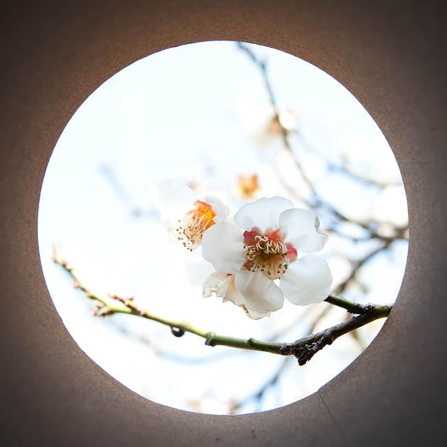<b>梅の花。なんか和風でいいですね。最初に撮ったのが梅で良かった! ニコンD700 / コシナ カールツァイス ディスタゴン T* 2.8/25 / マニュアル露出 / 1/500秒 / F5.6</b>