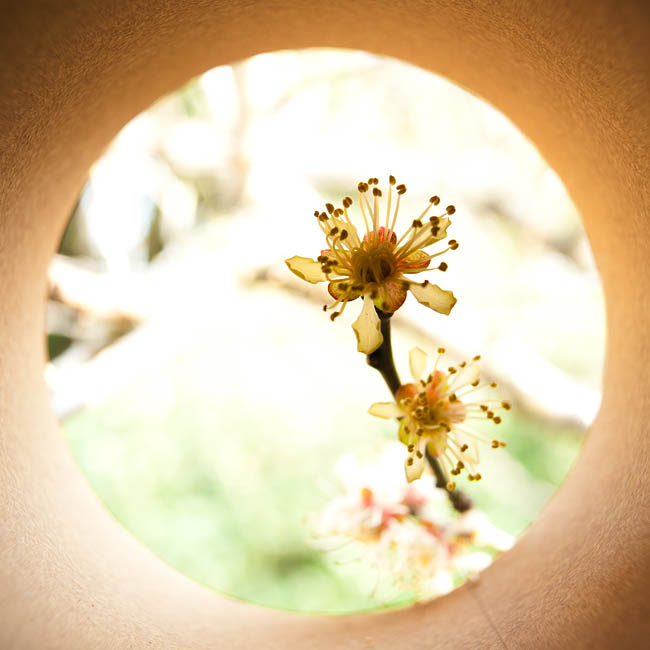 <b>梅の花。 ニコンD700 / コシナ カールツァイス ディスタゴン T* 2.8/25 / マニュアル露出 / 1/80秒 / F5.6</b>