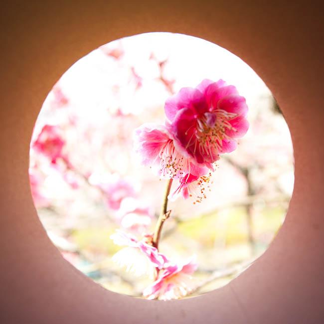 <b>梅の花。 ニコンD700 / コシナ カールツァイス ディスタゴン T* 2.8/25 / マニュアル露出 / 1/320秒 / F5.6</b>