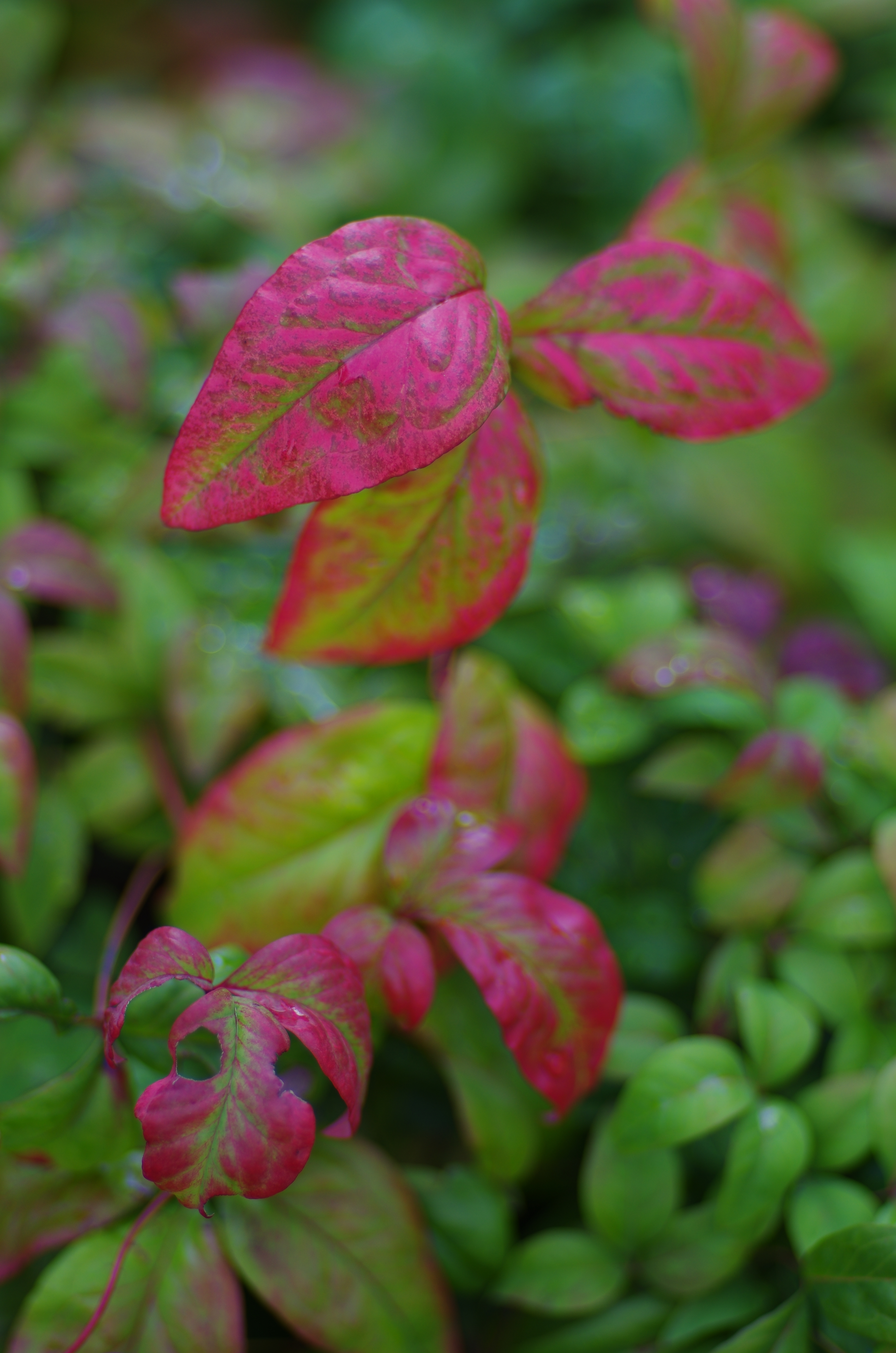 <b>赤い葉の質感描写が美しい。やはり解像度の高いレンズとだと良い結果が出る。PENTAX K-5 IIs / F1.4 / 1/320秒 / 絞り優先AE / ISO80 / WB:オート / カスタムイメージ:鮮やか</b>