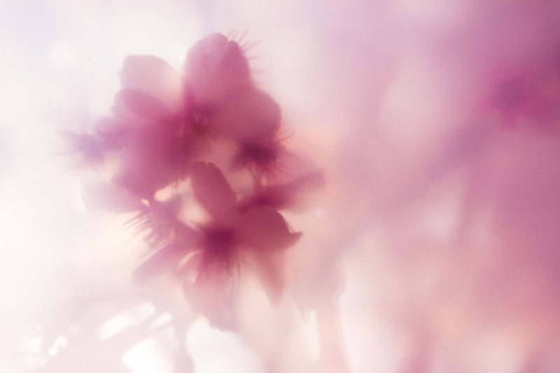 比較的ハッキリ写っている花の部分はフィルターに近いので透けてみえている。左下には直射日光を枝が遮った影がフィルターにできて写り込んでいる。