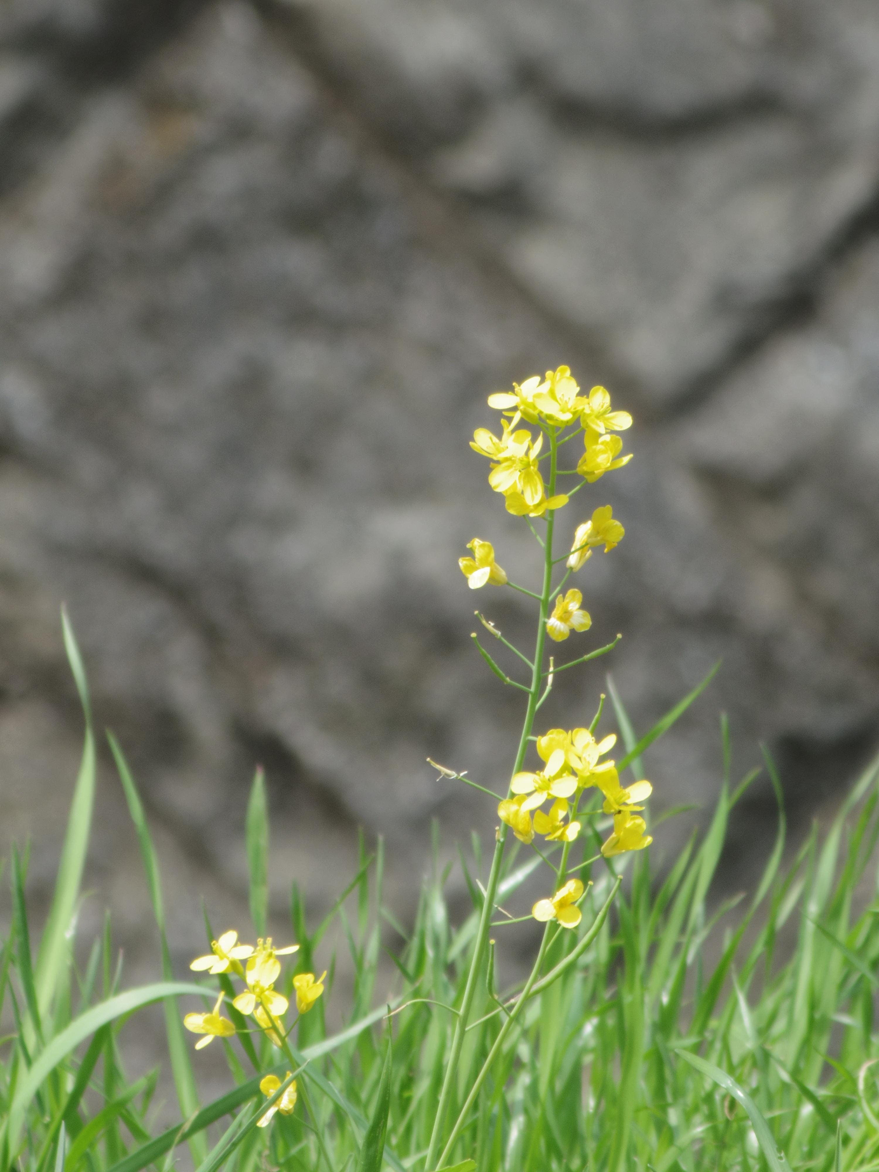 200mmで撮影。川の中州に咲いている菜の花もここまで拡大できました。PENTAX Q10 / DA 50-200mm F4-5.6 ED WR / 約3.2MB / 4,000×3,000 / 1/80秒 / 絞り目盛り:0 / 0EV / ISO100 / 絞り優先AE / WB:オート / 200mm