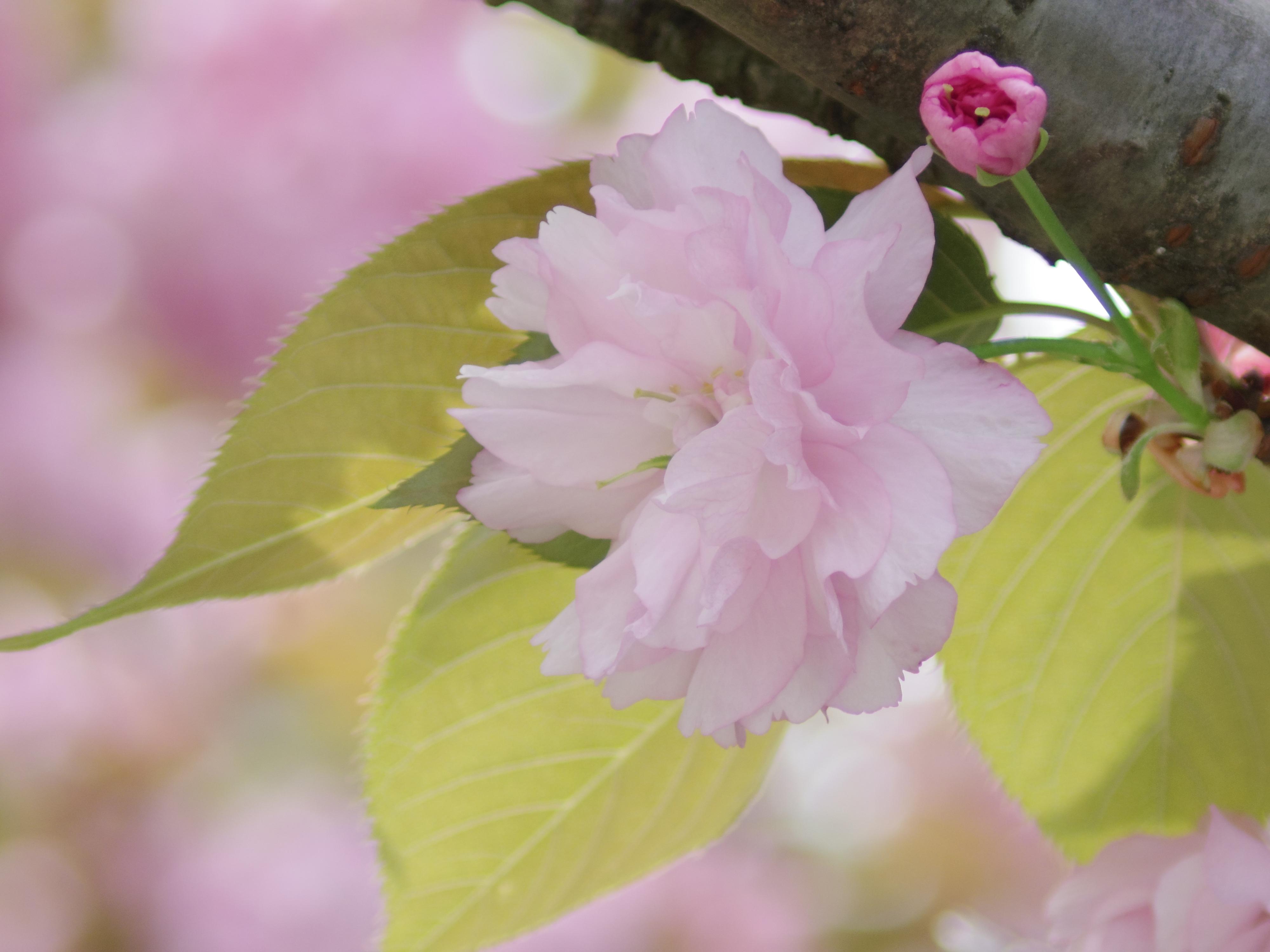 背景の桜が光を受けて丸ボケを作り出してくれました。PENTAX Q10 / DA 50-200mm F4-5.6 ED WR / 約2.2MB / 4,000×3,000 / 1/200秒 / 絞り目盛り:0 / +1EV / ISO200 / 絞り優先AE / WB:オート / 200mm