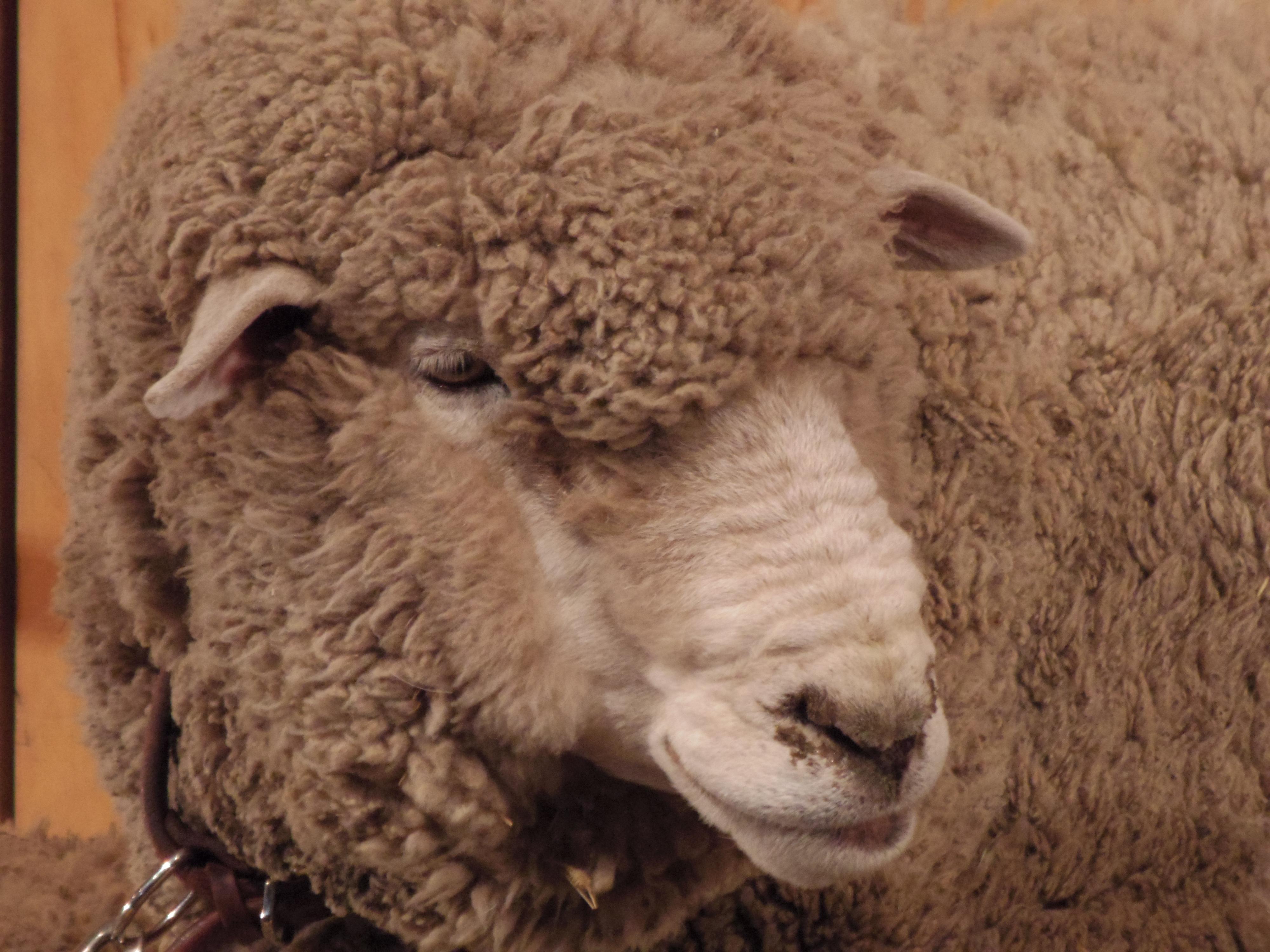 右の羊にぐぐっとズームしてみました。残念ながら目線はもらえず(笑)。PENTAX Q10 / DA 50-200mm F4-5.6 ED WR / 約3.6MB / 4,000×3,000 / 1/60秒 / 絞り目盛り:0 / 0EV / ISO1600 / 絞り優先AE / WB:オート / 200mm