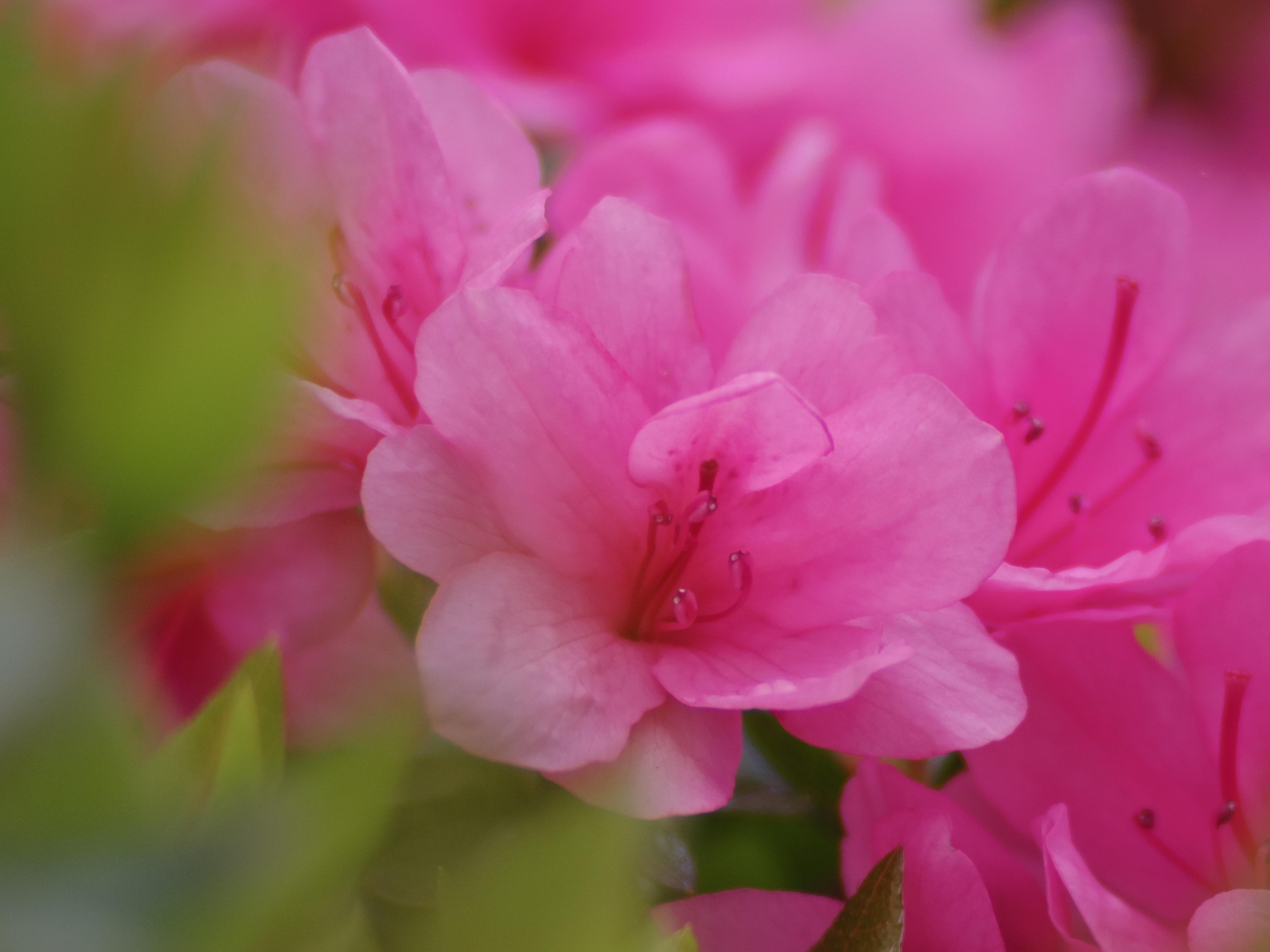 手前の花は枯れかかっていたので、比較的元気な群生の中央付近の花を狙いました。PENTAX Q10 / DA 40mm F2.8 XS / 約2.7MB / 4,000×3,000 / 1/1,000秒 / 絞り目盛り:0 / 0EV / ISO100 / 絞り優先AE / WB:オート / 40mm
