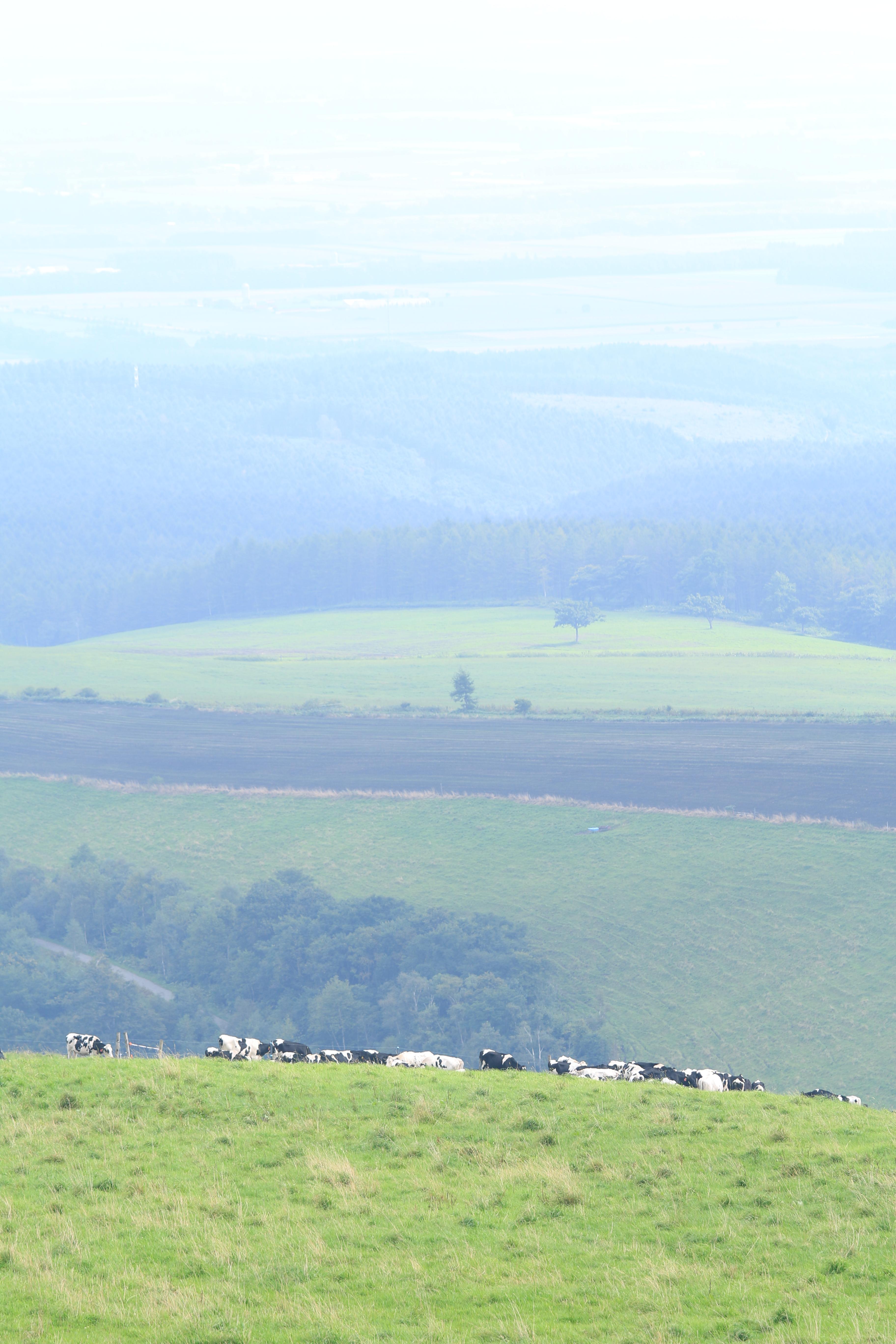 遠く離れた斜面にて牧草を食む牛たち。日によって食事場所が変わるので、このときは遠くに望むのみ。遠景の地もこの牧場内。その広さに改めて驚く。EF 70-200mm F4 L IS USM / 1/160秒 / F5.6 / +1.3EV / ISO100 / 絞り優先AE / WB:太陽光 / 127mm