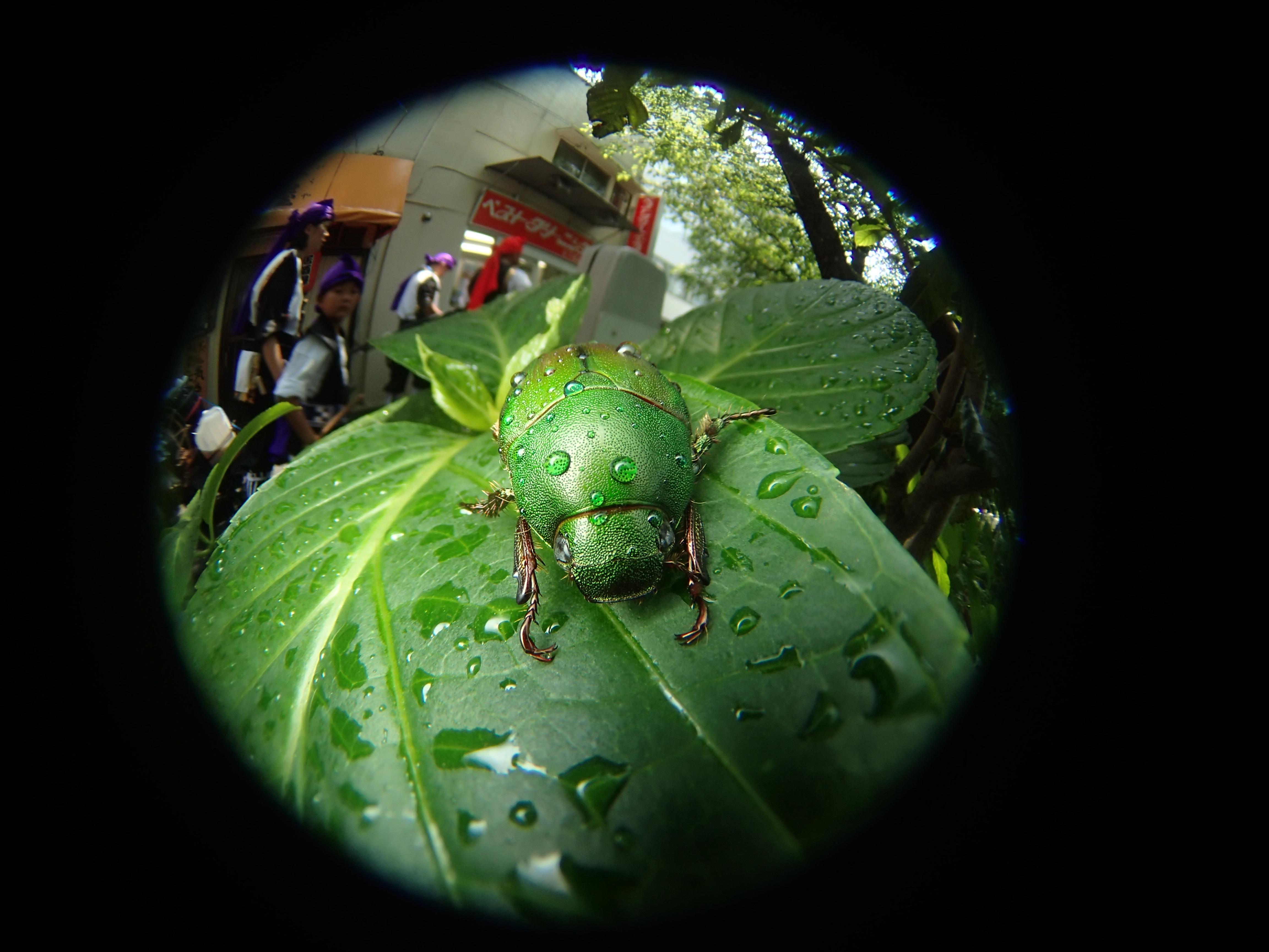 アオドウガネというコガネムシの一種が、アジサイの葉に止まっていた。濡れているのは近所の人が植え込みに水やりをしたから。東京の街はいたるところに植え込みがり、よく見るといろいろな昆虫が棲息している。金属的な緑色が工芸品的に美しい虫だが、このような自然の造形物を人間はコピーしていると言える