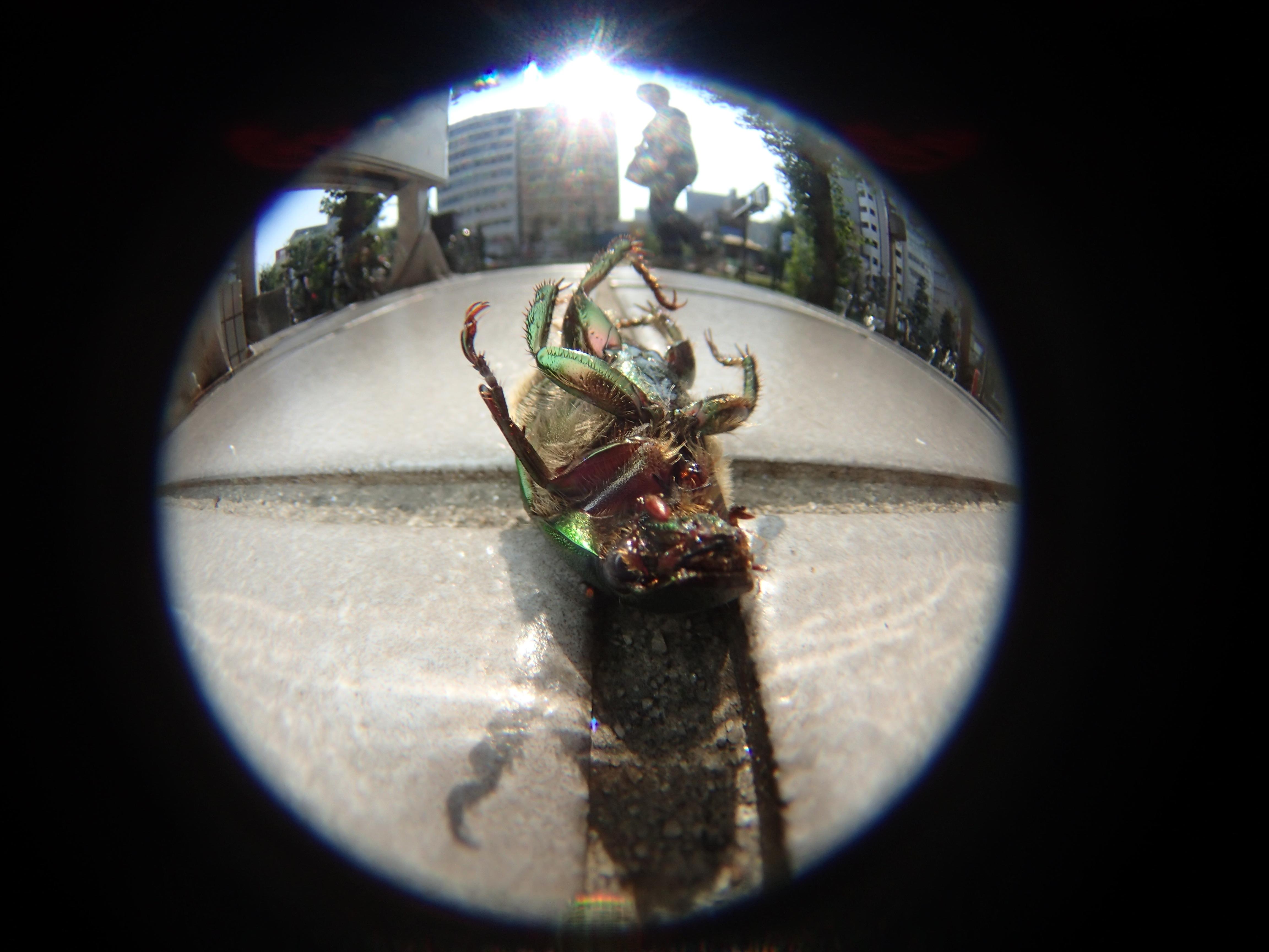 """コガネムシが新宿の路上でひっくり返って死んでいた。都会の暑さは昆虫たちにとっても過酷のようだ。""""生""""があれば""""死""""があって当然だが、現代社会において後者は表面から隠されている"""