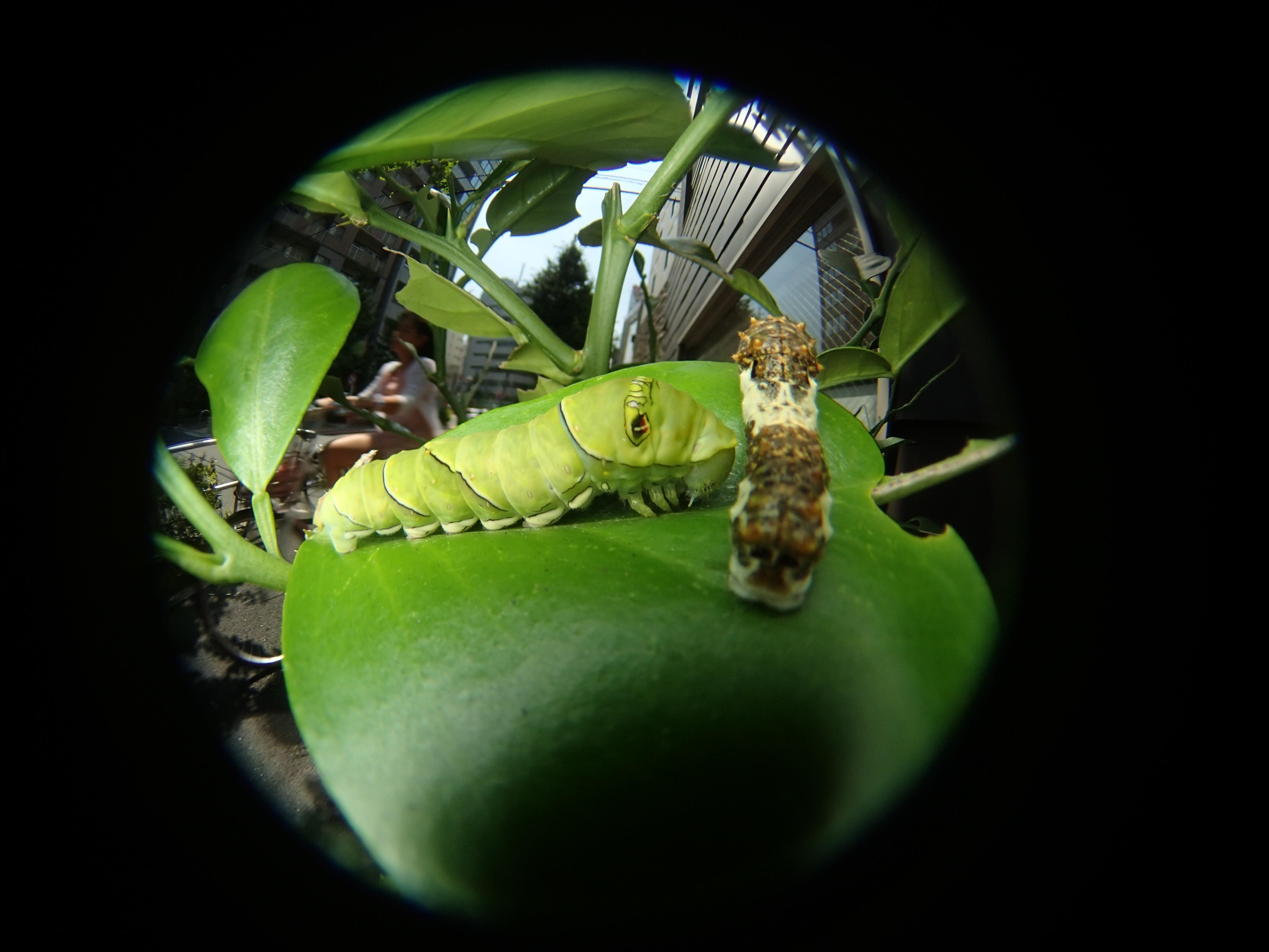 ミカンの葉にイモムシが2匹止まっている。模様は違うが両方ともアゲハチョウの幼虫だ。右の「四齢幼虫」は鳥のフンに擬態しており、脱皮すると左のような緑色の「終齢幼虫」になる。昆虫の擬態は捕食者である鳥の目を欺くためのものだが、これを写実絵画の起源だと見ることもできる