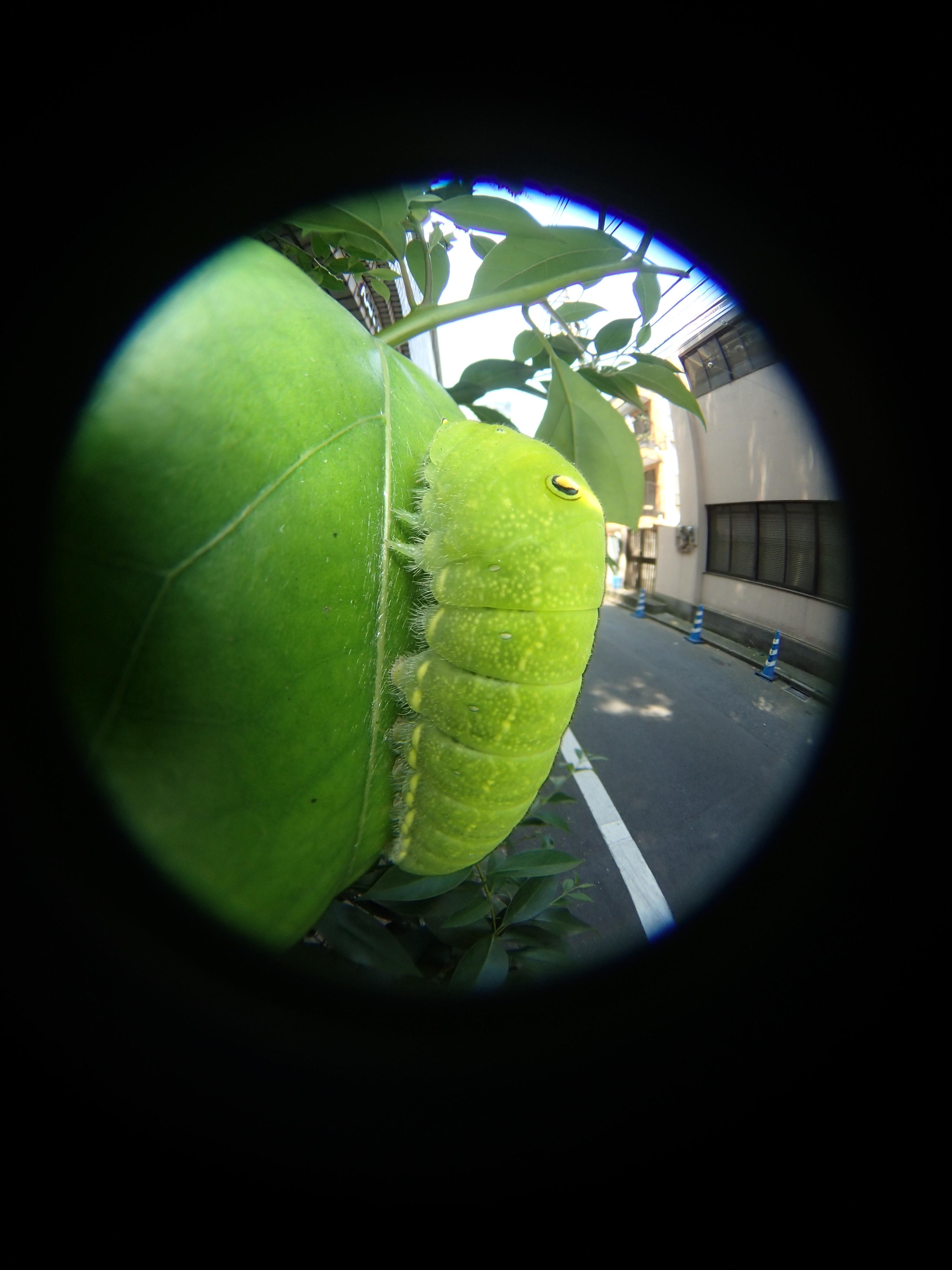 クスノキの葉に止まっていた、アオスジアゲハの幼虫。アゲハと並んで都会を代表するチョウだ。緑色の体にニセの目玉模様があり、ポケモンのキャラクターのようでなかなかカワイイ(笑)ニセの目玉模様を持つ昆虫は多く、鳥に対して効果があると言われる。この幼虫の本当の眼は「眼点」と言われる光センサーみたいなものだ