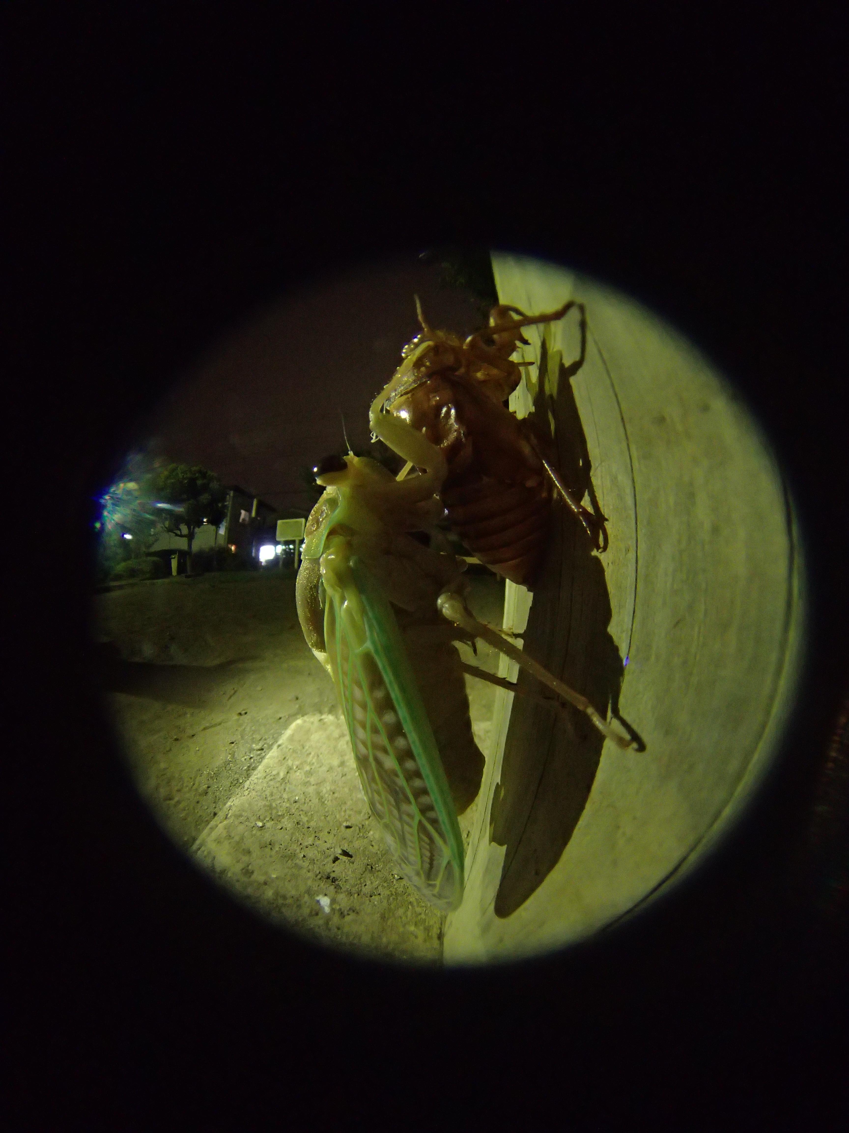 夜の自宅近所の公園にて。遊具に捉まりながら羽化するアブラゼミ。ストロボは明るすぎるのでオフにして撮影。しかしそのままでは暗すぎてAFも利かない条件だったため、iPhoneのLEDライトを照明に利用してみた。ある程度距離をとって照明したため、自然な感じに撮影することができた。ISO800でシャッター速度1秒だが、三脚は使用せず、カメラを遊具に押し当てながら手持ちで撮影した。その際手ブレ補正機能はOFFにした方が、かえってブレのない写真が撮れる