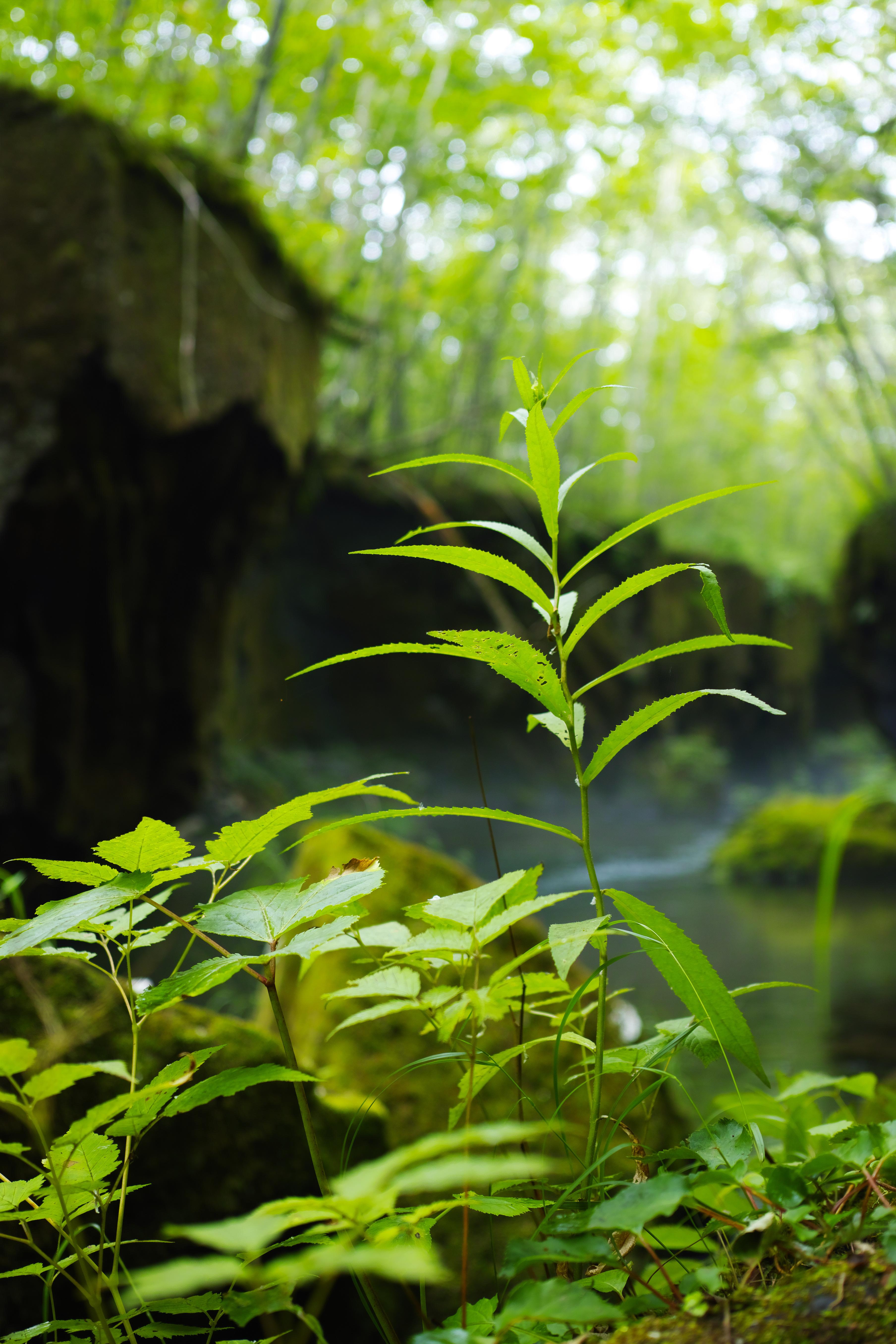 沢床の岩に生える草葉に近づき絞りF2.8開放で撮影。手前の葉と奥の岩場のボケ方がとても自然。ISO100 / F2.8 / 1/60秒