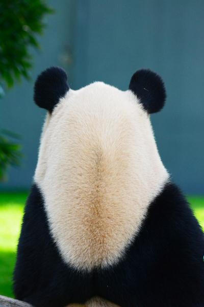大人のパンダの後ろ姿には、どこか哀愁が漂っていると思いませんか?
