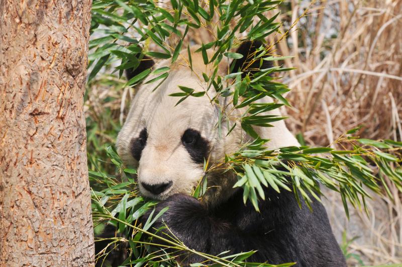 背景に建物が映り込みやすい屋外展示場。餌の竹などで隠すようにするといいでしょう(神戸市立王子動物園)