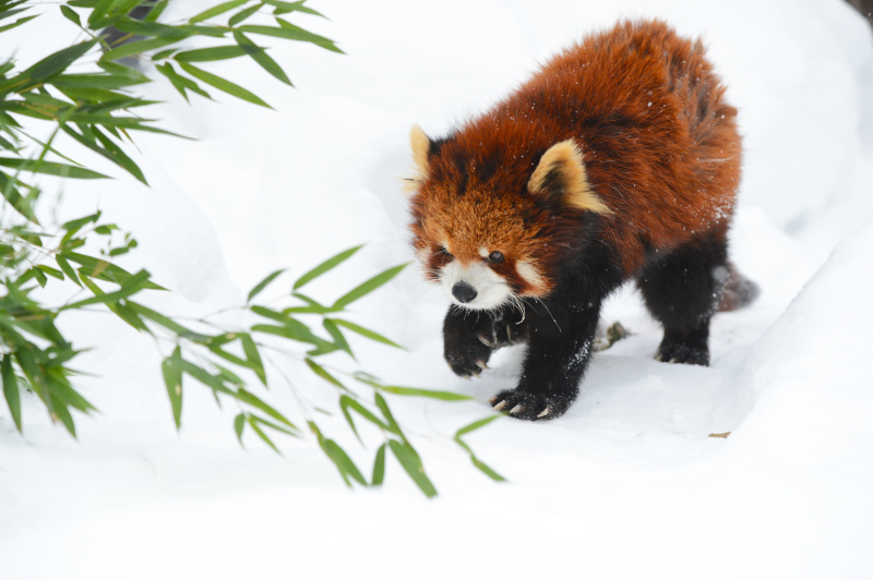 寒さに強いレッサーパンダは人間が震え上がるような寒さの中でも雪の上を元気に走り回ります。このように雪が背景のときは露出補正はプラスにすることをお忘れなく。もう少し低いアングルから撮りたかったのですが、背景に寝小屋の壁が入らないギリギリのところでシャッターを切りました(旭山動物園)