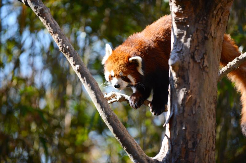 外敵から身を守る本能のためか木の上で眠っていることが多いのですが、餌の時間が近づくと目を覚まして動き回ります。木の茂みに埋もれないような角度を見極めましょう(高知県立のいち動物公園)