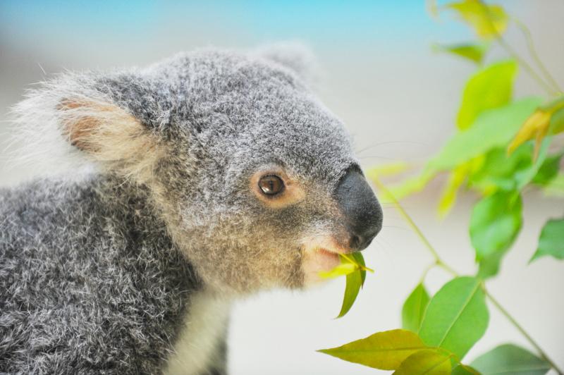 コンクリートなどで背景が灰色一色になることが多い室内展示。コアラの体も灰色なので、色を添えないと単調な写真になってしまいます。そんなときは意識してユーカリの緑を取り込みましょう(多摩動物園)