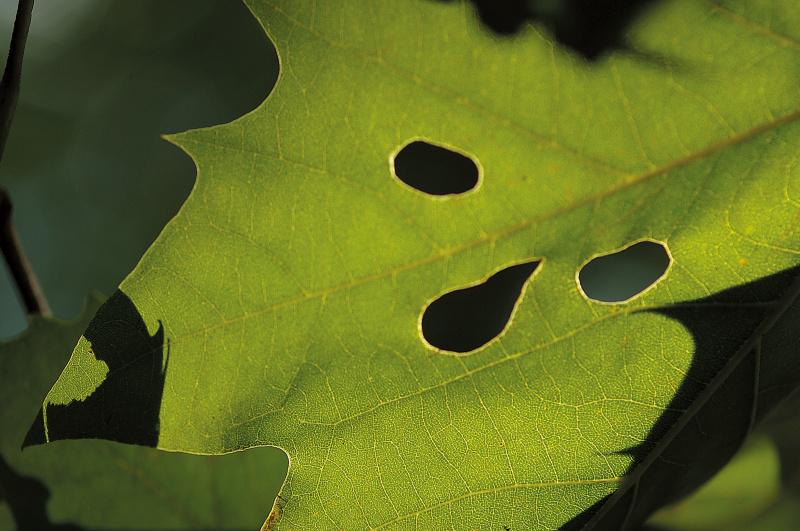 葉っぱを見ると3ヶ所の虫食いがあり、それが顔のように見えた。目線が合ったので、顔として表現した。