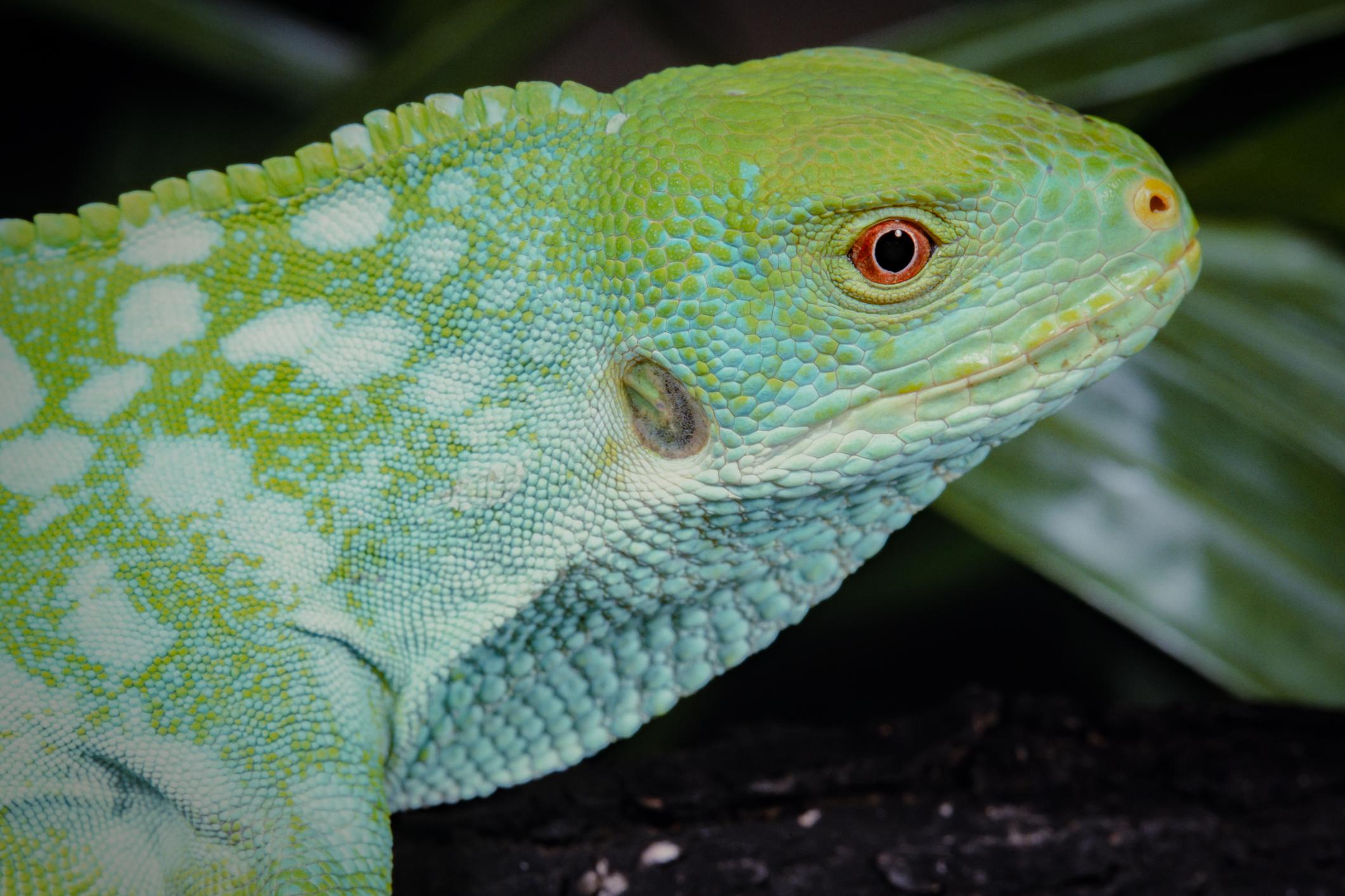 フィジー諸島に生息するタテガミフィジーイグアナは、IUCNの分類でCritically Endangered(CR、絶滅寸前)に指定されている