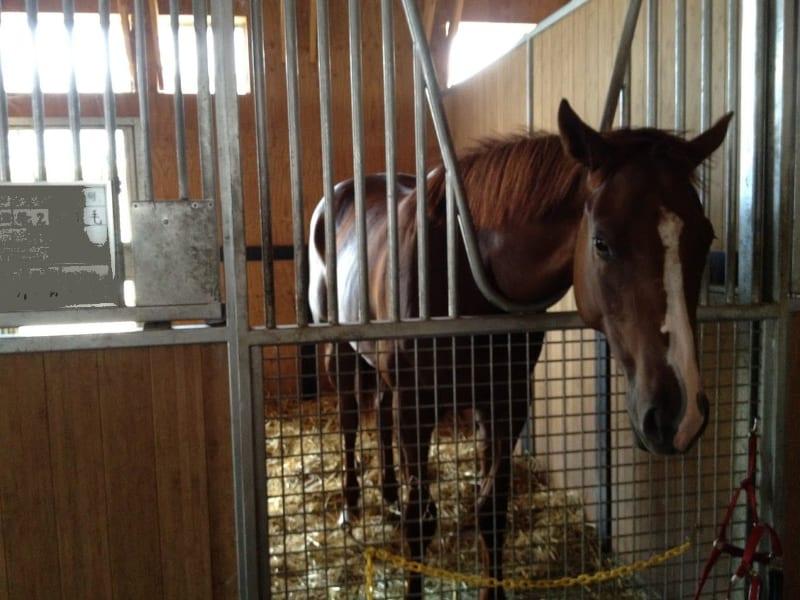 馬有機堆肥の元となる競走馬(滋賀県内)