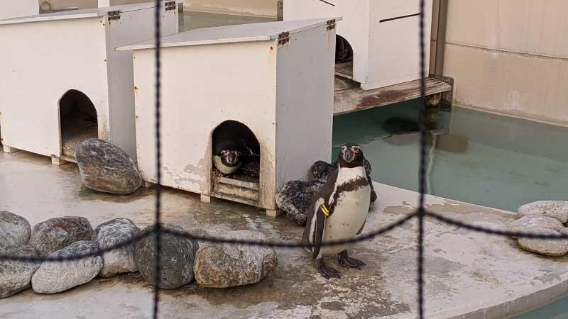 変温動物であるペンギン。21℃という体温が正確かはともかく、この画像では後ろの小屋にもう一羽いるのが分かる