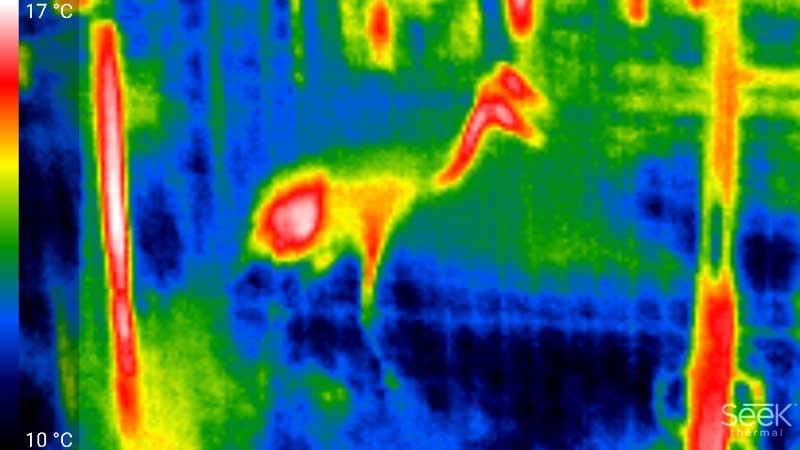 一般的に、細い部分はなかなか温度がはっきり出にくいが、このタンチョウは首周りもそこそこ熱を持っているのが分かる