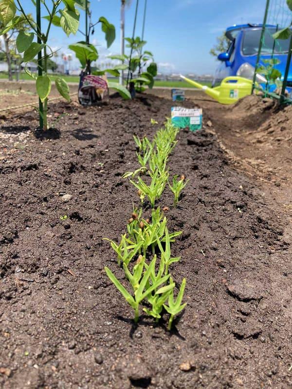 急速に成長する空心菜