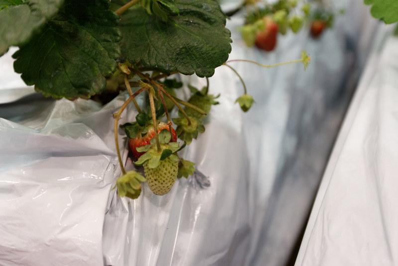 栽培方法は変わっても味は変わらず甘く、おいしいはず